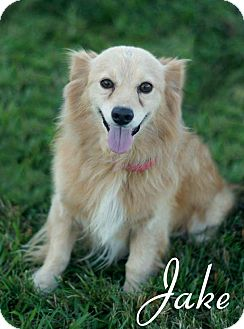 Papillon/Spaniel (Unknown Type) Mix Dog for adoption in Columbia, Tennessee - Jake