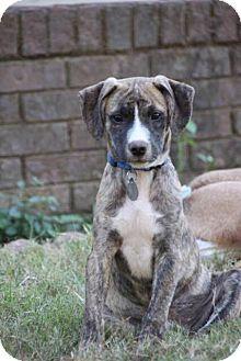 Hound (Unknown Type) Mix Puppy for adoption in Nashville, Tennessee - Ryder