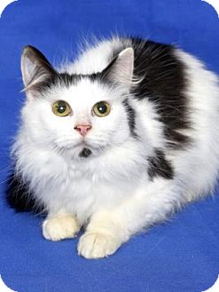 Domestic Mediumhair Cat for adoption in Gloucester, Virginia - HARRIET