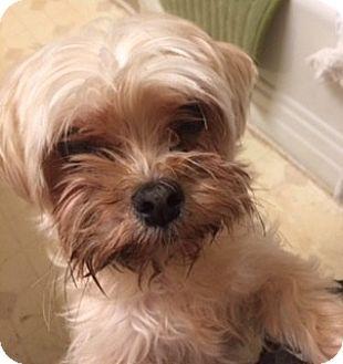 Maltese/Yorkie, Yorkshire Terrier Mix Dog for adoption in Oakland, California - LEO