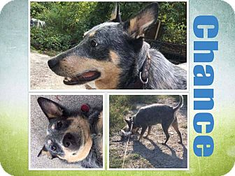 Cattle Dog Dog for adoption in WESTMINSTER, Maryland - Chance