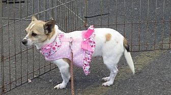 Rat Terrier Dog for adoption in Napa, California - HANNAH BANANNA