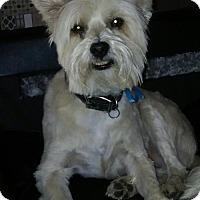 Adopt A Pet :: Nicky - Encino, CA