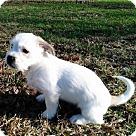 Adopt A Pet :: PUPPY ZINGARA