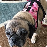 Adopt A Pet :: Prancer - Grapevine, TX
