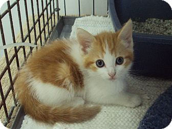 Domestic Shorthair Kitten for adoption in Memphis, Tennessee - Peanut Butter
