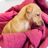 Adopt A Pet :: Iggy - Homewood, AL