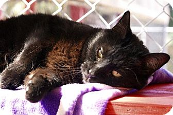 Domestic Shorthair Cat for adoption in Tucson, Arizona - Magic