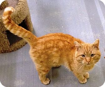 Domestic Shorthair Cat for adoption in Fort Benton, Montana - Patrick