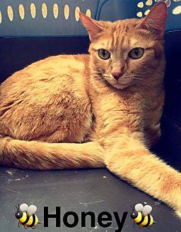 American Shorthair Cat for adoption in Scottsdale, Arizona - Honey
