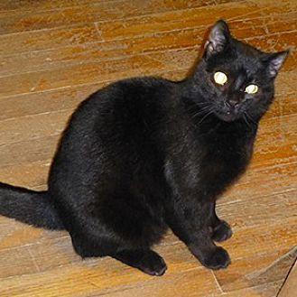 Domestic Shorthair Cat for adoption in Asheville, North Carolina - Thunder