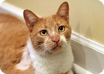 Domestic Shorthair Cat for adoption in Royal Oak, Michigan - JEFFERSON