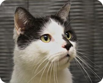 Domestic Shorthair Cat for adoption in West Des Moines, Iowa - Gauge