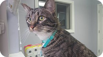 Domestic Shorthair Cat for adoption in Hawk Point, Missouri - Moon
