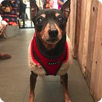 Miniature Pinscher Dog for adoption in New York, New York - Taz