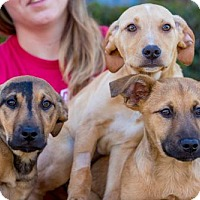 Adopt A Pet :: Poole Puppies - Males - San Diego, CA