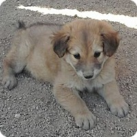 Adopt A Pet :: Kitty's Kiku - Las Vegas, NV
