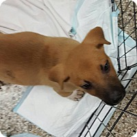 Adopt A Pet :: Trouble - Troutville, VA