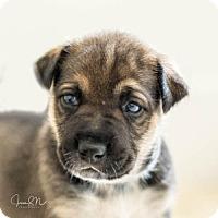 Adopt A Pet :: Puppy Brownie - Miami, FL
