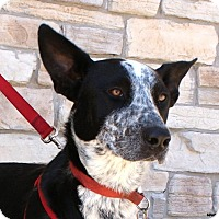 Adopt A Pet :: Cowboy - Newcastle, OK