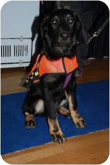 Rottweiler/Hound (Unknown Type) Mix Puppy for adoption in Surrey, British Columbia - Lucy