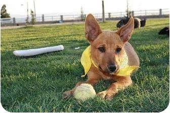 Australian Cattle Dog Dog for adoption in Studio City, California - Toffee