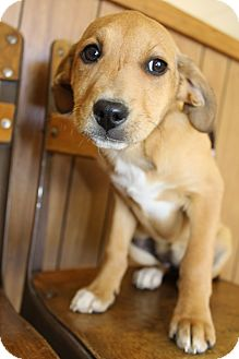 Beagle/Labrador Retriever Mix Puppy for adoption in Wytheville, Virginia - Ellie Mae
