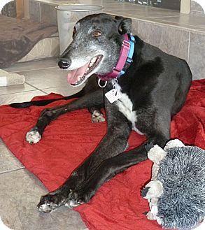 Greyhound Dog for adoption in Tucson, Arizona - Ten E Re