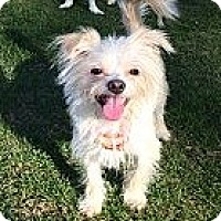 Adopt A Pet :: Olly - Mission Viejo, CA