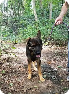 German Shepherd Dog Mix Dog for adoption in Kouts, Indiana - Mack