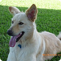 German Shepherd Dog/Golden Retriever Mix Dog for adoption in Stephenville, Texas - Blondie