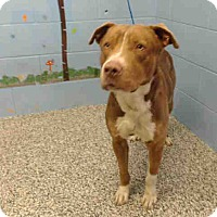 Pit Bull Terrier Mix Dog for adoption in San Bernardino, California - URGENT ON 1/14  San Bernardino