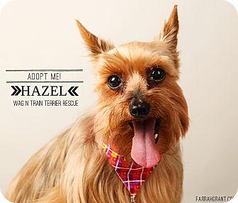 Yorkie, Yorkshire Terrier Dog for adoption in Omaha, Nebraska - Hazel-Pending Adoption