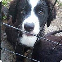 Adopt A Pet :: Puppy Touche - Austin, TX