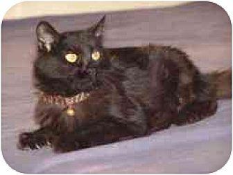 Domestic Shorthair Cat for adoption in Pasadena, California - April 2