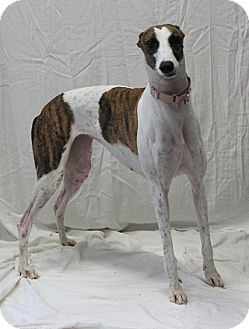 Greyhound Mix Dog for adoption in Swanzey, New Hampshire - Samantha