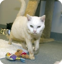 Domestic Shorthair Cat for adoption in Gainesville, Florida - Laverne