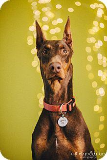 Doberman Pinscher Dog for adoption in Portland, Oregon - Caesar