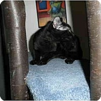 Adopt A Pet :: Midnight - Milwaukee, WI
