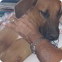 Adopt A Pet :: Baloo - Golden Valley, AZ