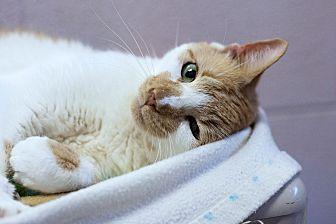 Domestic Shorthair Cat for adoption in Carencro, Louisiana - Valerie