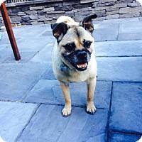 Adopt A Pet :: Atticus - Strasburg, CO