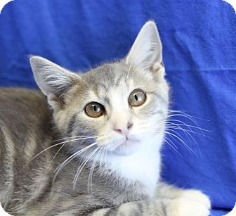Domestic Shorthair Kitten for adoption in Winston-Salem, North Carolina - Electra