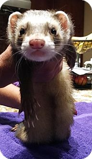 Ferret for adoption in Hartford, Connecticut - Loki