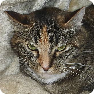 Domestic Shorthair Cat for adoption in Port Angeles, Washington - Dobbie