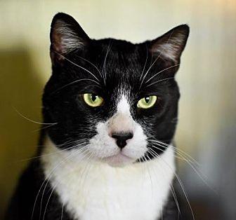 Domestic Mediumhair Cat for adoption in Denver, Colorado - Truman Tux