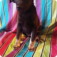 Adopt A Pet :: Sybol - Houston, TX