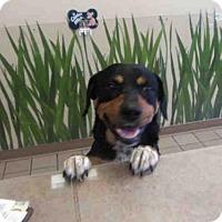 Rottweiler Mix Dog for adoption in Ocala, Florida - DAISY