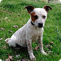 Adopt A Pet :: PUPPY ARYA - Spring Valley, NY