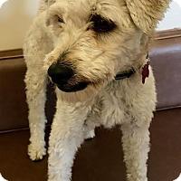 Adopt A Pet :: Gargamel - Las Vegas, NV